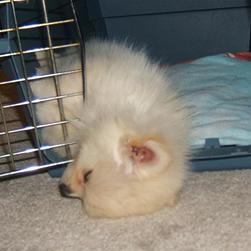 pomeranian puppy in deep sleep_cute looking pomeranian dog.jpg