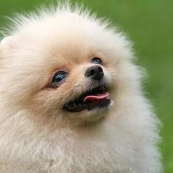 pomeranian puppy face close up picture.jpg