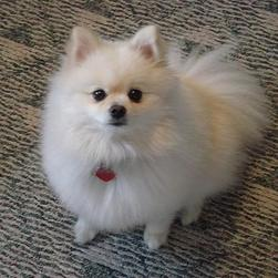 pomeranian puppy cream color.jpg