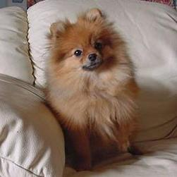 Pomeranian puppy breeder photo.jpg