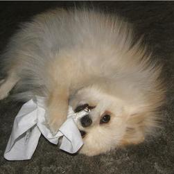 pomeranian puppy biting tissues.jpg