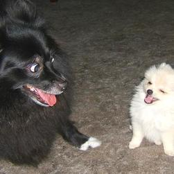pomeranian puppies picture.jpg