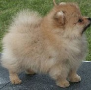 Pomeranian pup pictures.jpg