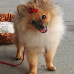 pomeranian pup photo.jpg