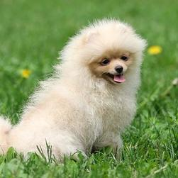 pomeranian dog photo.jpg