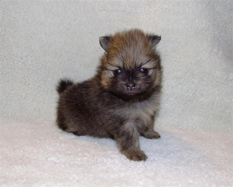 Pomeranian Puppy Cute Clipped 2 Pictures to pin on Pinterest