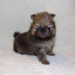 picture of super cute pomeranian puppy.jpg