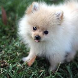 picture of Pomeranian puppy.jpg
