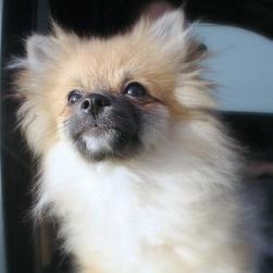 picture of pomeranian pup looking up.jpg