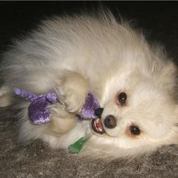 picture of playing pomeranian puppy.jpg