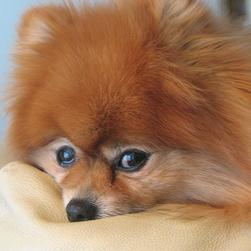 picture of close up face of golden tan pomeranian puppy.jpg