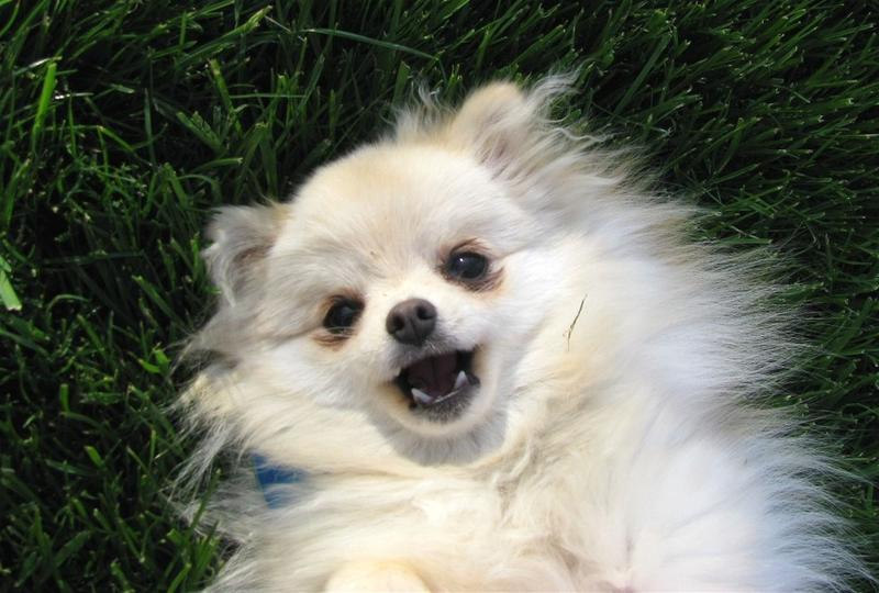 pics of pomeranian puppy in white.jpg