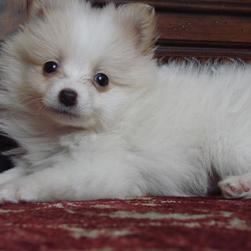 pic of pomeranian puppy.jpg