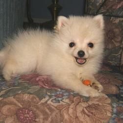 photo of pomeranian puppy playing.jpg