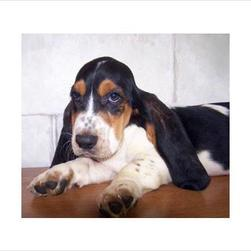 basset puppy with three colors_black, tan and white.jpg