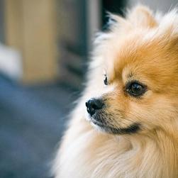 golden pomeranian puppy photo.jpg