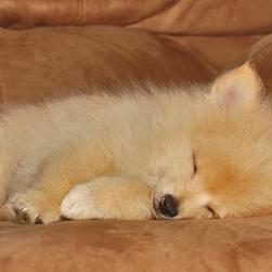 golden pomeranian puppy in deep sleep.jpg