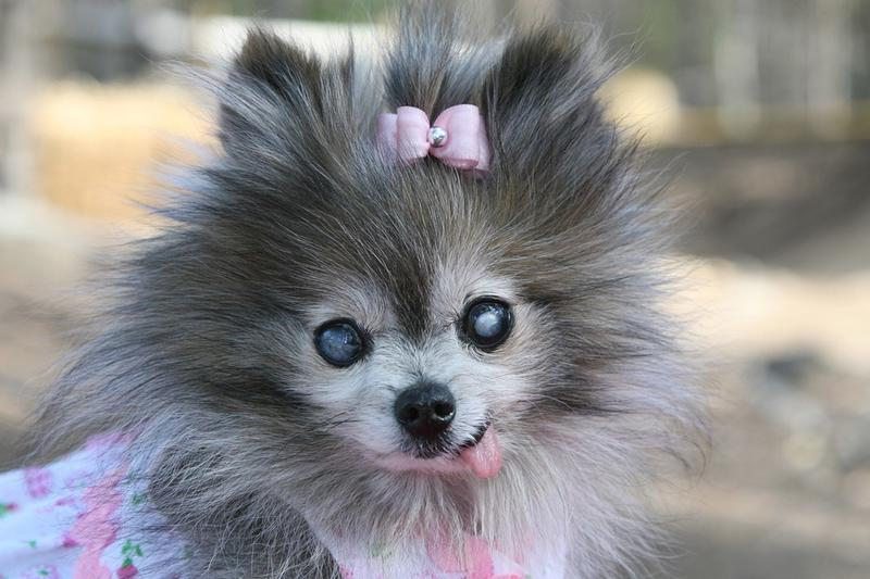 dressed up pomeranian puppy in grey and white pictures.jpg ... | 800 x 533 jpeg 61kB