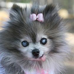dressed up pomeranian puppy in grey and white pictures.jpg