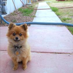 dark tan pomeranian puppy in the garden.jpg