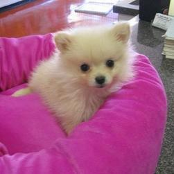 cute white Pomeranian puppy.jpg