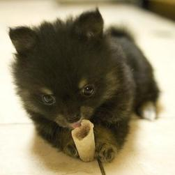 cute small black pomeranian puppy biting its bone.jpg