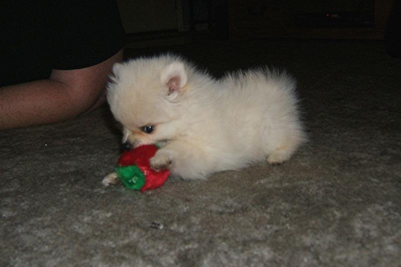 Picture of lovely pomeranian puppy playingCute Black Pomeranian Puppy Pictures