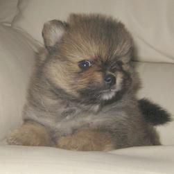 cute Pomeranian puppy photo in three colors.jpg