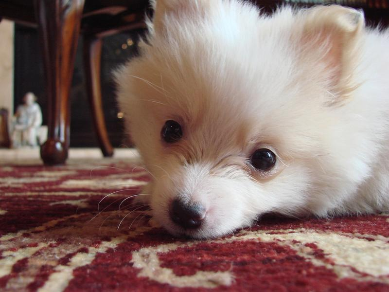 cute pomeranian puppy face picture.jpg