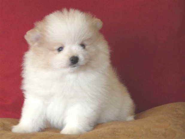 cute fat pomeranian puppy in white with some tan.jpg (3 ...