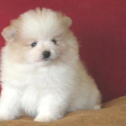 cute fat pomeranian puppy in white with some tan.jpg