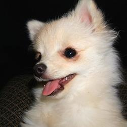 cute dog picture of pomeranian puppy.jpg