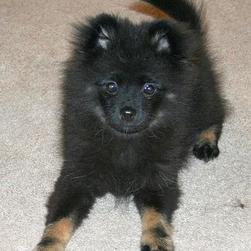 cute black poneranian puppy.jpg
