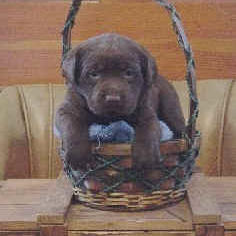 Labrador Puppy picture gallery