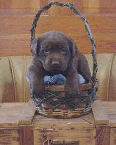 lab pup in chocolate color.jpg