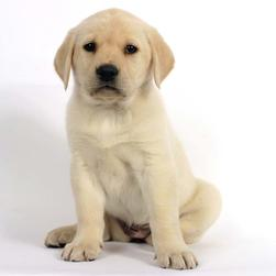 lab pup in golden color.jpg