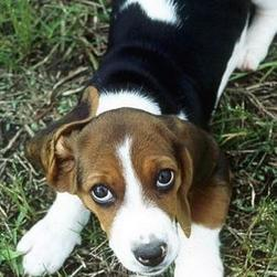 lovable Basset dog picture