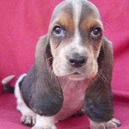 small Basset puppy with big ears