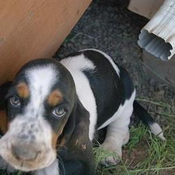 Basset puppy looking up to the camera