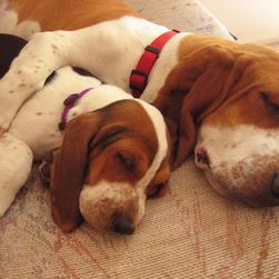two Basset puppies sleeping next to each
