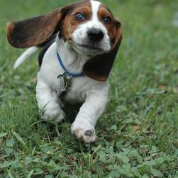 funny looking Basset puppy on running