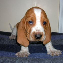 picture of golden tan and white Basset puppy