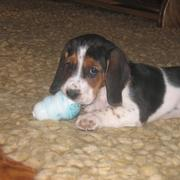 Basset puppy playing its toy