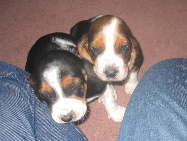 two Basset puppies