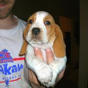 Basset puppy in gold tan and white