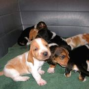 Basset puppies picture