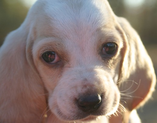 close up face of Basset puppy pic