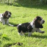 two Basset puppies playing on the grass