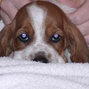 picture of Basset puppy face