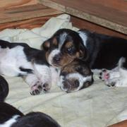 two Basset puppies photo